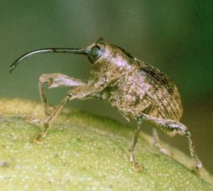 Pecan Weevil Adult