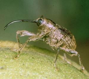 Pecan Weevil Adult