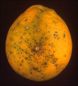 Alternaria Brown Spot