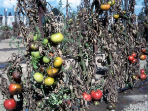Late Blight Tomatoes