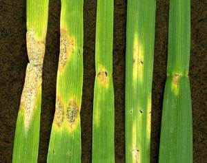 Septoria leaf blotch