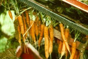 Unharvestable Carrots