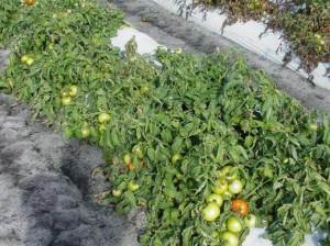 Treated Tomatoes