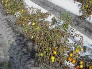 Untreated Tomatoes