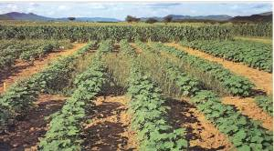 African Cotton Herbicide Experiment
