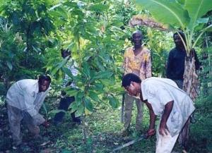 Weedy Cocoa: Ghana