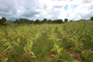 Weedy Maize Field: Africa