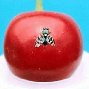 Cherry Fruit Fly