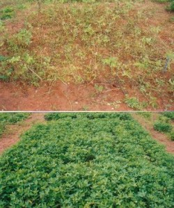 Fungicide Experiment: Ghana (top=untreated bottom=treated)