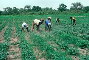 Laborers Hand-Weeding