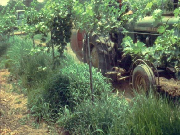 Weedy Vineyard