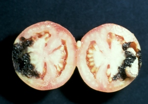 Tomato Fruitworm Damage