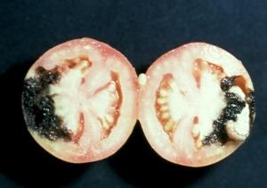 Tomato Fruitworm Damage