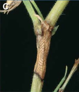 Blight on stems
