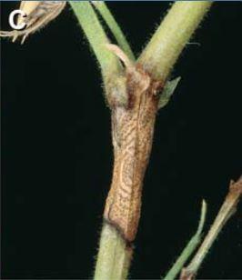 Blight on stems