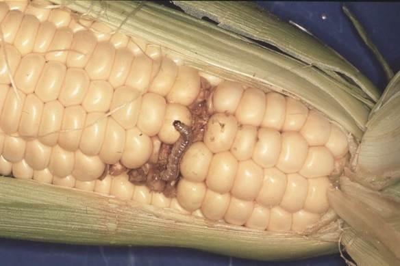 Bugs in corn