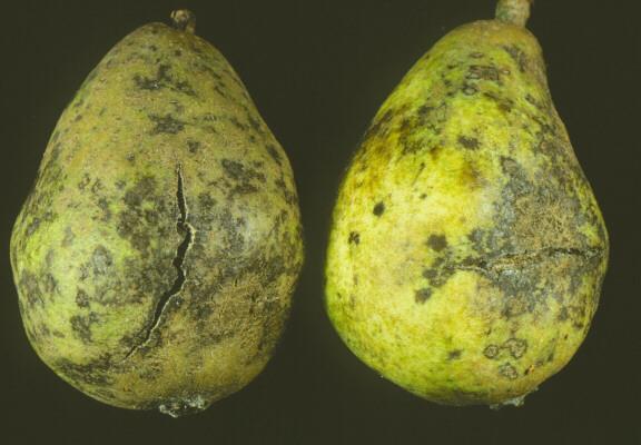Pear Scab