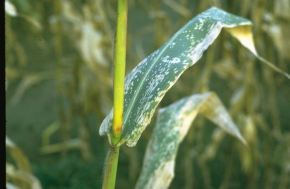 Eyespot Disease on Maize Leaves