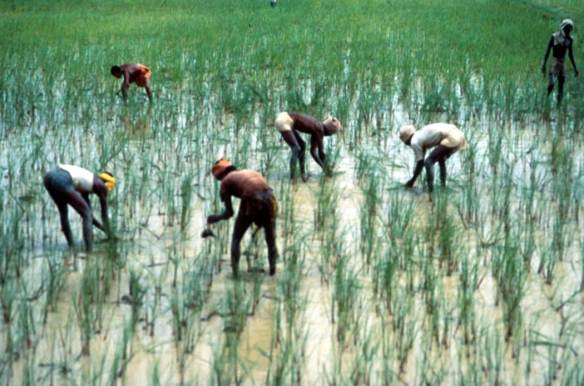 Handweeding Rice In India