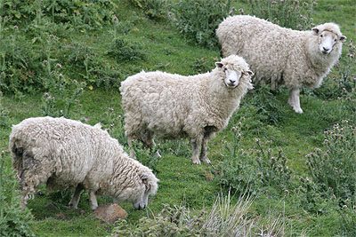 Sheep - NZ Pasture