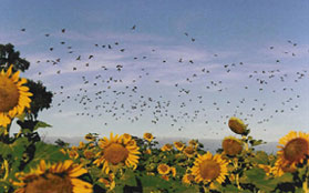 Doves over a sunflower field