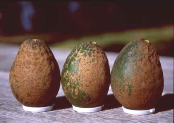 Infected Avocados