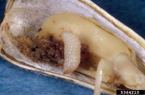 Seed Weevil