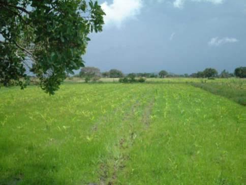 Weedy Maize Field in Africa