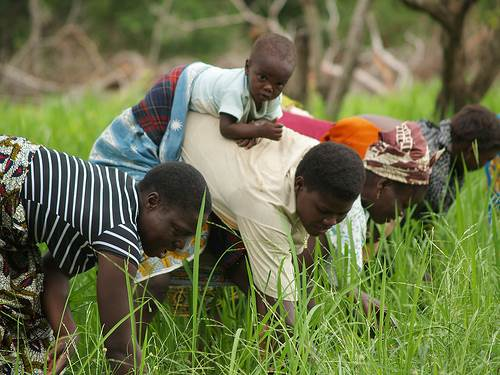 Hand Weeding Rice in Africa