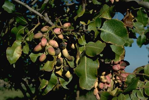 Alternaria leaf blight