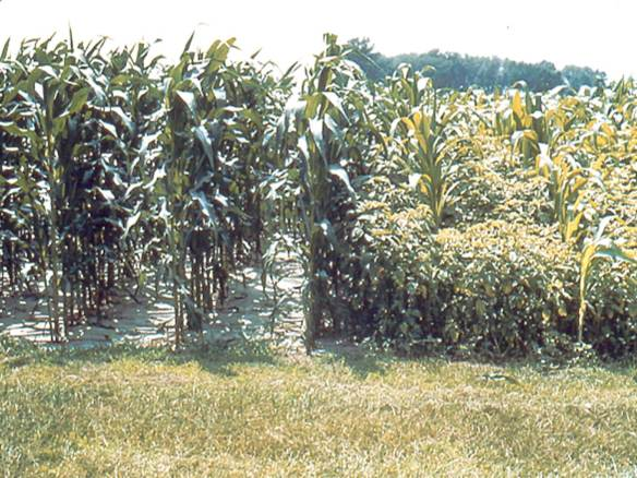 Herbicide Use in Corn: Treated (L) Untreated (R)