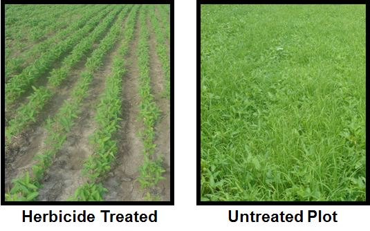 Soybean Growth With and Without Herbicide Treatments