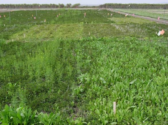 Weedy Mint Field (Foreground)