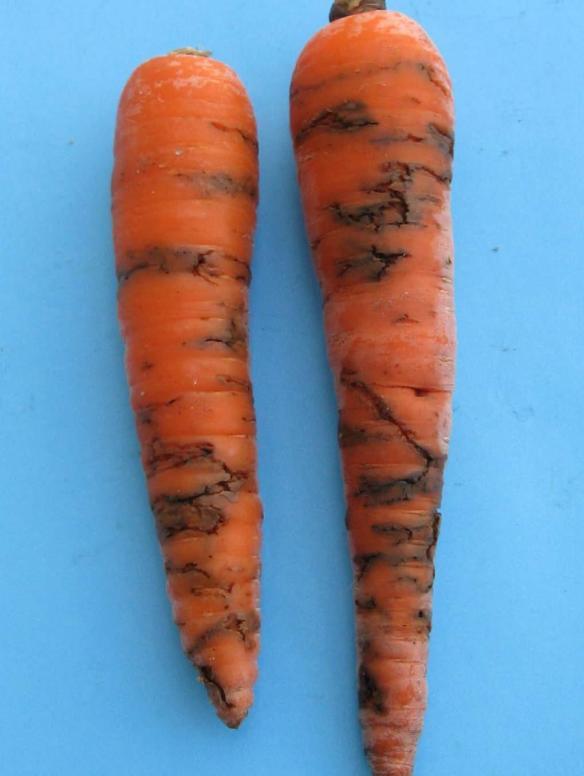 nasty carrots