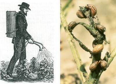 Spraying in Paris Green; Colorado Potato Beetle