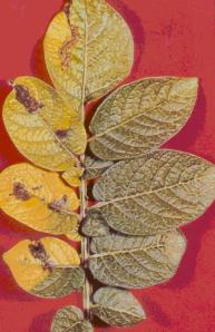 Potato leaves with late blight; Fungicide treatment on right