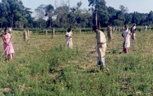 Scraping Weeds In Tea Fields