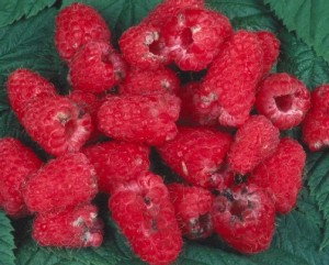 Damage from Raspberry Beetle