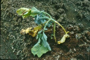 Damage from Cabbage Maggot