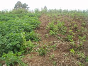 African Potato Fields Fungicide Treated (L) Untreated (R)