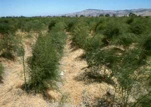 desert ferns