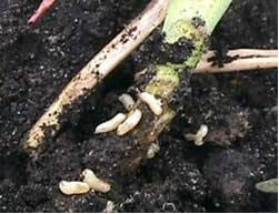 Cabbage maggots